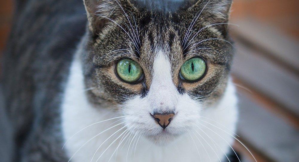 Γάτα με πράσινα μάτια κοιτάζει τον φακό