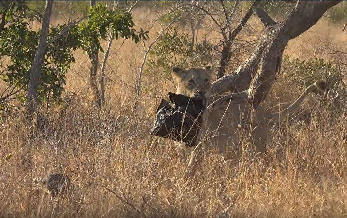 Λιοντάρι παίζει με πλαστική σακούλα